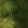 "(44) ""Hovering"" 4/30/10<br /> 20 minutes of standing still and trying to capture this wood bee hovering around in one spot, zipping to another and hovering, etc ... out of 100+ shots this is the best one.  Hard work :)<br /> Thank you everyone for the comments and support on my Dgrin submission ... for anyone who had any ID thoughts or ideas (commented or not), I should have mentioned that the subject is a little bigger than a quarter and naturally occurring - should throw everyone off :)<br /> Hope everyone has a wonderful Friday!"