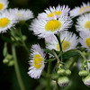"(70) ""Daisy Fleabane"" 5/26/10<br /> Another variety of Daisy that grows in my area. Never understood the name, but the numerous soft petals and great bunches of blossoms make them a beauty.  Hot and sunny today - might hit 90.<br /> Thanks for all the wonderful comments on my Iris.  Hope everyone has a wonderful day!"