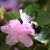 "(22) ""Azalea and the Bee"" 4/8/10<br /> The azaleas in all their wonderful colors are opening up.  Caught this guy having lunch.  A little too much sun for what i wanted, but for 15 minutes he stayed in just the brightest parts of the plant.  Oh well :)"