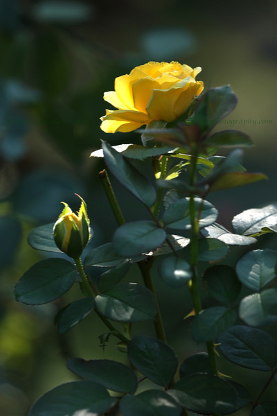 "(146) ""Yellow Rose"" 8/9/10<br /> Not of Texas, from my garden :)"