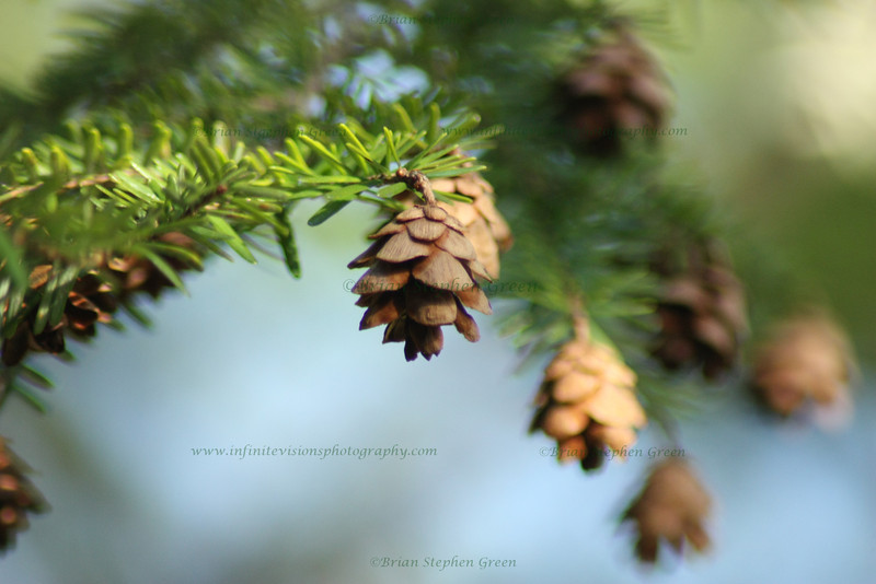 "(7) ""Mini Pine Cones"" 3/24/10<br /> <br /> Saw these nickel and quarter sized cones hanging around - so used to the big ones."