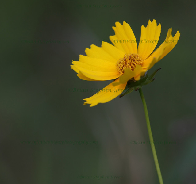 "(87) ""Coreopsis"" 6/12/10<br /> Found a quiet field a few towns over from me full of wildflowers.  Have a feeling a few visits are in my future :)  Yesterday's early evening hike yielded this Lance-leaved Coreopsis.<br /> Thanks to everyone for the wonderful comments on yesterday's Loosestrife.  Taking a nice day trip to PA with my wife today.  Hope everyone has a fantastic Saturday!"