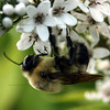 "(115) ""Hangin Around"" 7/10/10<br /> Nothing like bees and blossoms :)<br /> Hope everyone has a wonderful Saturday!"
