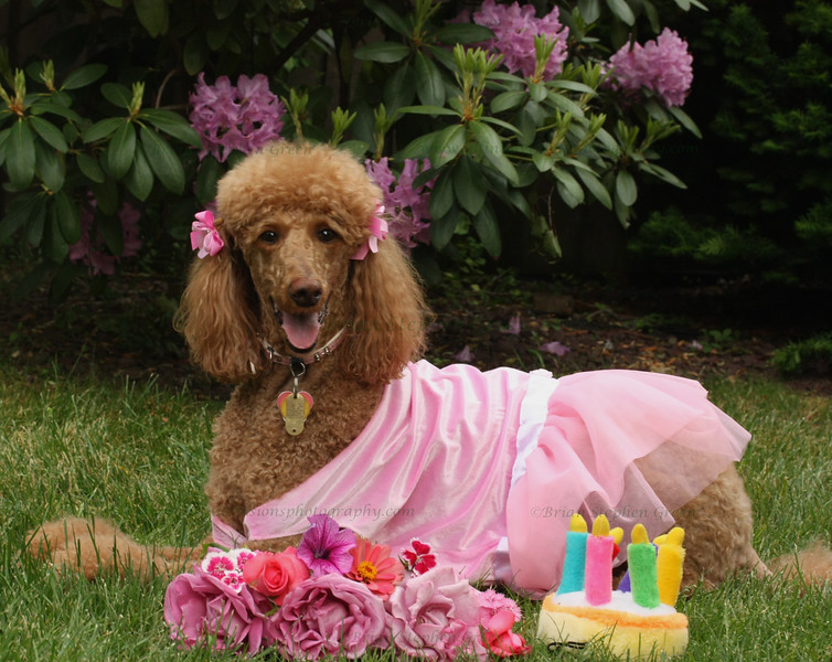 "(62) ""Birthday Poodle!"" 5/18/10<br /> Annie turned 6 yesterday and I had to rush home and take her out for a birthday shoot after work (and before the rain).  She got some great new outfits, lots of treats and toys, and a freshly cut bouquet from our garden.  One happy poodle :)<br /> Thanks to all for the wonderful comments on my lilies, and I hope everyone has a great day!"