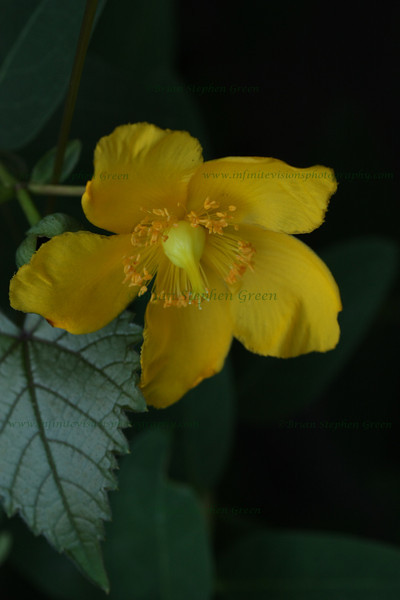 "(127) ""Evening Yellow"" 7/22/10<br /> Found some nice new blossoms the other evening on a park hike.  Actually took this upside-down leaning over a small wooden fence as it was growing on the other side.  I believe this is in the St. Johns Wort family  (Hypericum), but I'm still trying to narrow it down.<br /> Hope everyone has a wonderful day - it's almost Friday"