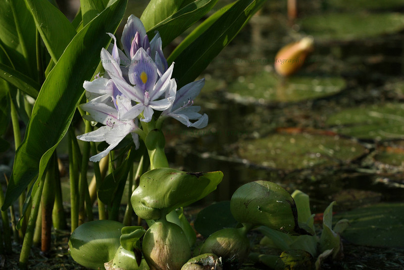 """(80) """"Water Hyacinth"""" 6/5/10<br /> Visiting a local pond looking for some lilies and discovered a newly blossomed Water Hyacinth.  The bullfrogs were everywhere as well so snapped a few of them.  Been beautiful lately, but rains moving in today and possibly tomorrow.  <br /> Heading out to upstate NY for a few days for a wedding (as a guest) so will catch up on everything when I get back.  Have a wonderful weekend all!"""