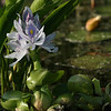 "(80) ""Water Hyacinth"" 6/5/10<br /> Visiting a local pond looking for some lilies and discovered a newly blossomed Water Hyacinth.  The bullfrogs were everywhere as well so snapped a few of them.  Been beautiful lately, but rains moving in today and possibly tomorrow.  <br /> Heading out to upstate NY for a few days for a wedding (as a guest) so will catch up on everything when I get back.  Have a wonderful weekend all!"