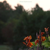 "(147) ""Sunset Cannas"" 8/10/10"