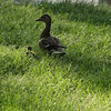 "(50) ""Enjoying the Sun"" 5/6/10<br /> Was out looking for flowers and saw these two relaxing in the sun (odd that there was only one chick).  Didn't want to get too close - they seemed to have found a great spot in the grass :)<br /> Hope the week is going well for all - almost Friday!"
