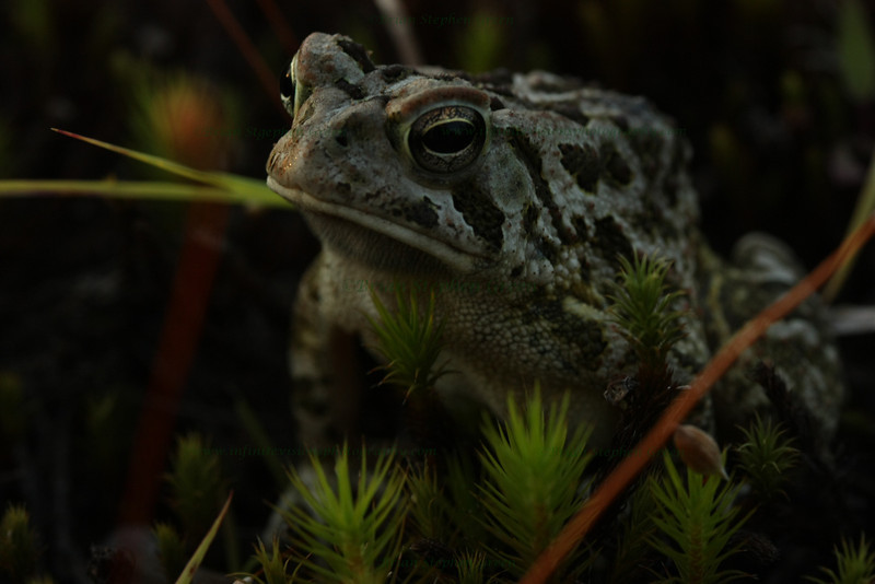 "(113) ""Toad"" 7/8/10<br /> An evening walk looking for some flowers, but found this toad instead.  Even with my macro lens getting right near him he was quite calm, and seemed to enjoy posing  :)<br /> Hope the week is going well for all - it's almost Friday!"