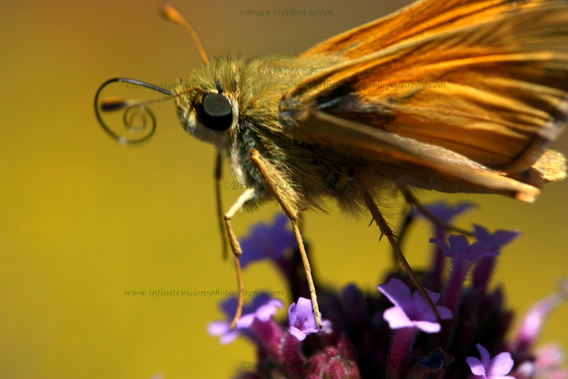 "(178) ""Some Privacy Please?"" 9/10/10<br /> Playing around with the macro lens, and spotted this Peck's Skipper, so I attempted to get as close as I could without disturbing him.  Only got 2 quick, no time to really focus snaps before he took off; think he stuck his tongue out at me :)<br /> Friday is here again; hope the week went well for all.  Thanks for all the generous comments.  Have a wonderful day!"