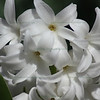 "(17) ""Soft Hyacinths"" 4/3/10<br /> Nothing says Springtime like soft, white Hyacinths.  Perfect mid-70s weather in my area, finally.  <br /> Thank you all for the comments on the Columbine foliage.  I'll put up some shots when it has some blossoms."