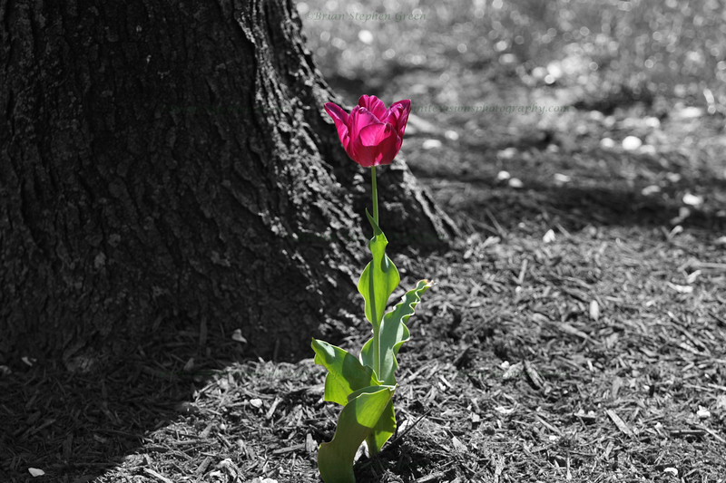 "(37) ""Selected"" 4/23/10 Post processing is not a thing I am accustomed to; aside from a crop here or there, I shoot SOOC.  Browsing through my captures from the last couple days looking for my next daily, I came across this lone tulip.  After viewing all the fantastic selective coloring shots posted to the community, a thought popped into my head: ""I bet my fellow Smuggers could make a great sc with this.""  Well, I figured I'd give it try.  After all, what we do needs to be about learning, growing and pushing our boundaries.  So I borrowed a friends copy of PS7, read a quick tutorial and got to work.  As a first for me, I hope it came out all right :) The original capture can be found <A HREF=""http://infinitevisionsgallery.smugmug.com/Flora/Flora/11573221_TLwAJ#845138674_MG6iZ"">here</A> in my Flora gallery. Thanks to all for the generous comments on yesterdays pink tulip, and to those who visited my Dgrin macro challenge <A HREF=""http://infinitevisionsgallery.smugmug.com/Competitions/Dgrin-49-Macro-Photo-Challenge/"">ideas gallery</A>.  Hope everyone has a wonderful Friday!"