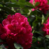 "(56) ""Rosy Rhododendrons"" 5/12/10<br /> Still cold, cloudy and rainy.  Fortunately I had a couple shots of my rhodies from the other day when the sun was still out.  If it's rainy and cloudy by you, hope this helps :)<br /> Thanks to everyone for the great comments recently.  Have a happy Wednesday!"