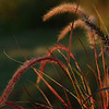 "(137) ""Sunlit Grasses"" 8/1/10<br /> A very busy (but fun) weekend has come to an end, as has another month.  Happy August!  Posting quite late today.  Hope everyone had a wonderful weekend!"