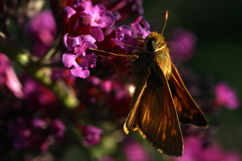"(114) ""Sunset Butterfly"" 7/9/10<br /> Guess if you hang around a butterfly bush long enough, something is bound to show up.  Was taking some shots of these blossoms just before sunset when this guy came over for a snack.  Not sure what it is, but butterfly IDs is not really my strong point :)<br /> Thank you all for the wonderful comments on yesterdays evening toad!  Hope everyone has a great day; it's Friday!"