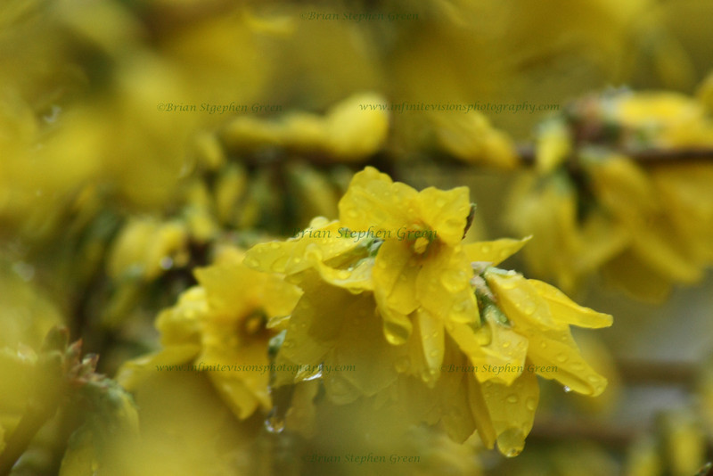 "(6) ""Yellow Drops"" 3/23/10<br /> A good rain is always welcome, once in awhile."