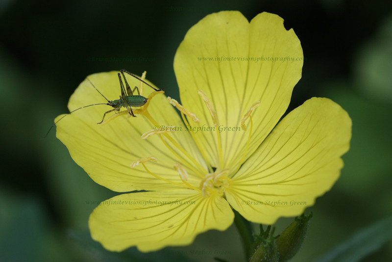 "(96) ""Sundrop"" 6/21/10<br /> Found a blooming patch of Common Sundrops on a nice morning hike.  Took a few shots; liked this one with the little friend.<br /> Had a great weekend of beautiful weather, friends, family and good times.  Hope everyone had a wonderful weekend as well.  Thanks for all the comments - time to catch up :) Summer is here!  Have a great day!"