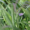 "(89) ""Hint of Blue"" 6/14/10<br /> Searching for some new wildflowers (of course) and started tracking this Eastern Tailed Blue that was fluttering around.  Was happy when it settled down not too far from me.  Unfortunately, had my prime 60mm macro on and didn't want to get too close, so took from a few feet away.  I'm pleased with any butterfly I manage to capture - most flying creatures seem to know exactly when I'm going to release my shutter and leave :)<br /> Hope everyone had a wonderful weekend, and thanks to all for the generous comments.  Have a great day!"