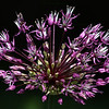 "(51) ""Spring Fireworks"" 5/7/10<br /> The local Allium is starting to bloom in all of its explosive colors.  This half opened blossom reminded me of fireworks.  Will hopefully be getting out this afternoon to check on them and see if they are fully bloomed.<br /> Thanks to all for the comments on my ""only child"" duck shot.  Hope it is a fabulous Friday for all!"