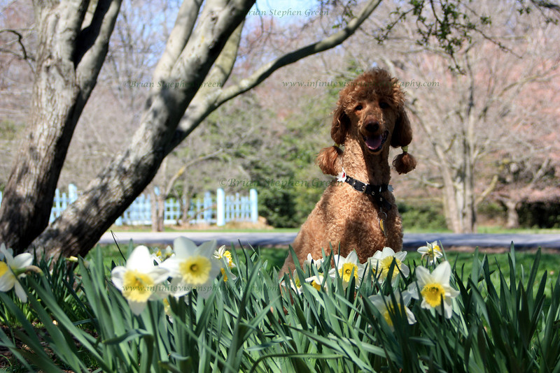 "(18) ""Dog in Daffodils"" 4/4/10<br /> <br /> A quick capture of our dog, Annie, on a perfect Spring day.  She is one happy poodle.  Have a wonderful day everyone!"