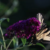 "(122) ""Swallowtail"" 7/17/10<br /> I found it is easier to attempt to capture butterflies and the like when I hang around plants known for attracting butterflies  - go figure :)<br /> Hope everyone has a fantastic weekend!"
