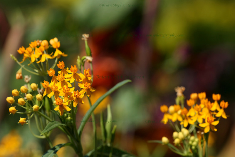 "(177) ""Summer Colors"" 9/9/10<br /> Found a nice sunny group of butterfly-weed while out working on dof and bokeh.  Liked the colors in this one.  Back to hot and clear the last couple days, but comfortable mid-70s temps on the way.  Friday is almost here!  Have a great day everyone!"
