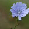 "(93) ""Chicory"" 6/18/10<br /> The Chicory is out everywhere now.  Such a wonderful blossom.  Great to see the blues mixed with all the other late spring wildflowers.<br /> Many thanks to everyone for the wonderful comments on yesterday's daily; you guys are the best :)  Have a fantastic Friday everyone!"