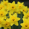 "(9) ""Daffodils in Bloom"" 3/26/10  A little friendlier than the thorny weed I posted yesterday.  Thanks everyone for all your wonderful comments.  <I>""It is daffodil time, so the robins all cry, For the sun's a big daffodil up in the sky. And when down the midnight the owl call 'to-whoo!' Why, then the round moon is a daffodil too; Now sheer to the bough-tops the sap starts to climb, So, merry my masters, it's daffodil time."" -- Clinton Scollard</I>"