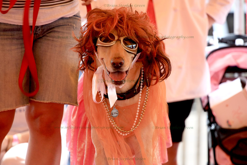 "(160) ""Dog In Drag"" 8/23/10<br /> One contestant in the costume contest at the L'Oreal ""Because Your Dog Is Worth It Too"" event this weekend, benefiting the Walk for a Cure for breast cancer.  One of the largest dog events in NJ (usually about 5000 dogs and several thousand people).  It is always a good time packed with cute pups, wonderful events and vendors, and celebrity dogs such as Elwood.  This pooch's costume was ""dog in drag"" - can't remember his name though.<br /> Extremely busy week last week, followed by a nice weekend getaway for my wife's b-day - finally caught up on 4 days of posting.  Hope everyone is well!"