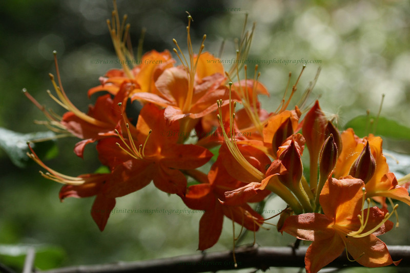 "(48) ""Flame Azaleas"" 5/4/10<br /> Ventured over to the nearby azalea gardens which are in full bloom now - so many colors.  Should have a bunch to put into my flora gallery.  Love the orange flame azaleas.<br /> Hope Monday was great for everyone, and that today is even better!"