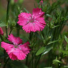 "(58) ""Rainy Dianthus"" 5/14/10<br /> Finally had a nice day yesterday after a week of clouds, rain (which is back again today) and below average temps. The weekend forecast looks great though :) A quick shot of my newly blooming Dianthus between showers.<br /> Thank you all for the great comments on my yellow Iris :) Hope everyone has a wonderful Friday!"