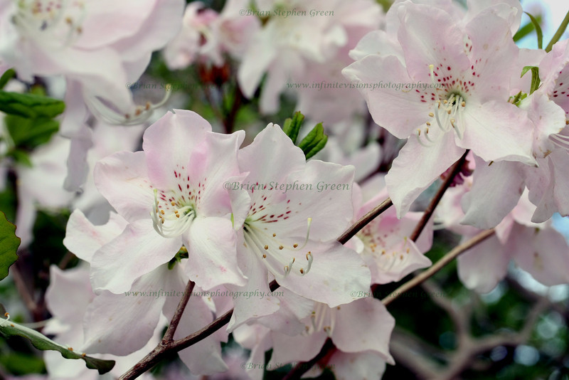 "(42) ""White Azaleas"" 4/28/10<br /> Wanted to get a nice capture of 3 different azalea bushes that grow together, but the white ones always bloom later than the others; so it's just the white ones :)<br /> Thanks to all for the generous comments this week - happy Wednesday!"
