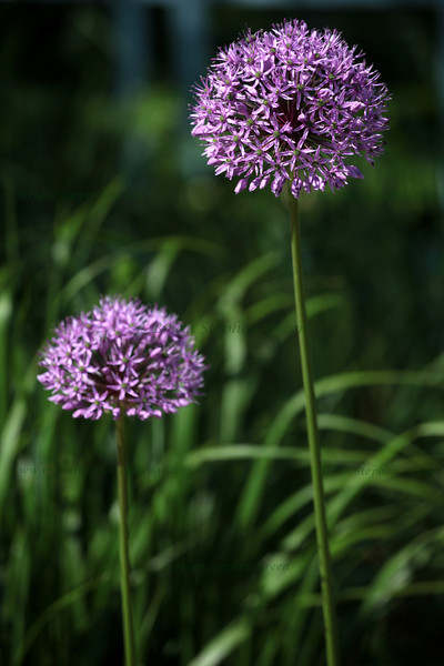 """Pair of Alliums"" 5/21/11<br /> All the Allium is in full explosive bloom now.  Such a wonderful flower :)<br /> Hope everyone has a great day!"