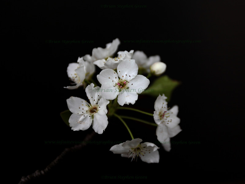 """Cherry Blossoms"" 4/29/11<br /> Nothing like sweet smelling Cherry blossoms on a Spring day.  Friday has arrived!  Have a great one!"