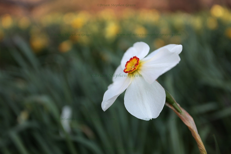 """White Yellow and Red"" 4/26/11<br /> Finally enjoying some Spring weather here, and all the different varieties of daffodils.<br /> Have a great day all!"