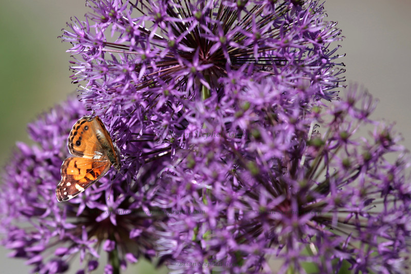 """First Butterfly"" 5/20/11<br /> My first butterfly of the season.  Normally we don't see a lot of them until at least June, so I was very happy for this early, albeit very quick, encounter while shooting some Allium.  <br /> So much rain lately; just about everyday with more on the way... oh well :)<br /> Thank you all for the wonderful comments.  Have a happy Friday!"
