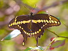 October 11, 2014 Giant Swallowtail,   I usually capture these big guys with their wings folded up so this is a nice alternative pose where you can see the colors on the inner edges