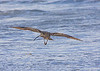 October 4, 2014  Off into the wild blue yonder!   Long Billed Cerlew taking off over the Gulf