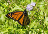 October 21, 2013  Invasion of the Monarchs - I had dozens in my yard yesterday as they pass through on their annual migration to Mexico  -looks like Websterway is getting some in his area also