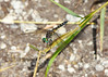 "October 24, 2013 ""Big Eyes""  one of the smaller dragonflies, but they all have great eyes if you can get a clear shot."
