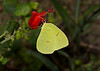 October 31, 2013 -  Clouded Sulphur  - we 4.5 inches of rain and a nice light show last night,  watch out east coast!