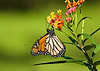 October 7. 2014  Mr Monarch,  heading south for the winter,