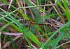October 20, 2013 - Orange Dragonfly