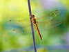 October 10, 2014 Wandering Glider,  this high flying beauty stopped by for a photo