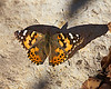 """December 7, 2012 """"Pretty Lady"""" warming up on a rock on a cool afternoon.  We still have a pretty good variety of butterflies but I am sure that is about to end."""