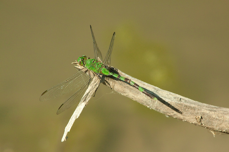 """April 28, 2012  """"Green Dragon and shadow""""   -  This pondhawk seems to be waiting for its next meal to fly by"""