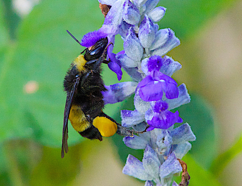 "July 4, 2012 ""Bee On Salvia Bloom""  I hope everyone has a great July 4th holiday."