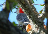 "January 20, 2012 ""Peek-a-Boo"" I have a pair of  Red Bellied Woodpeckers who live in my yard but are next to impossible when it comes to catching one in a good pose - This one sitting in a live oak is my best one so far.  I came home early hunting for a good daily and to enjoy the 81 degrees weather -  a great day for January!  TGIF"