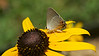 July 13, 2012,  Gray Hairstreak, on a black eyed susan.  I left my telephoto home and my macro to catch this one.